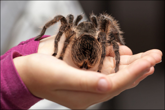 Child's hands holding tarantula